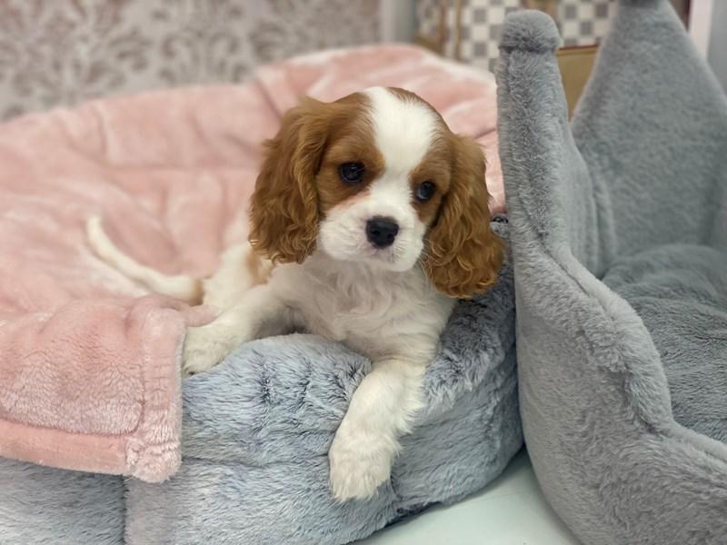 Cavalier King Charles Spaniel-DOG-Male-Blenheim-3027781-Furrylicious
