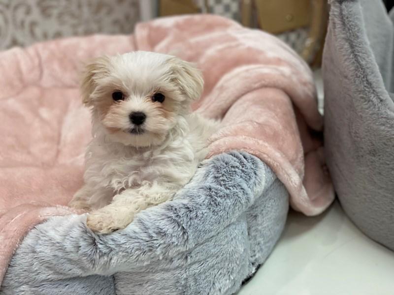 Maltese-DOG-Male-White-3026802-Furrylicious