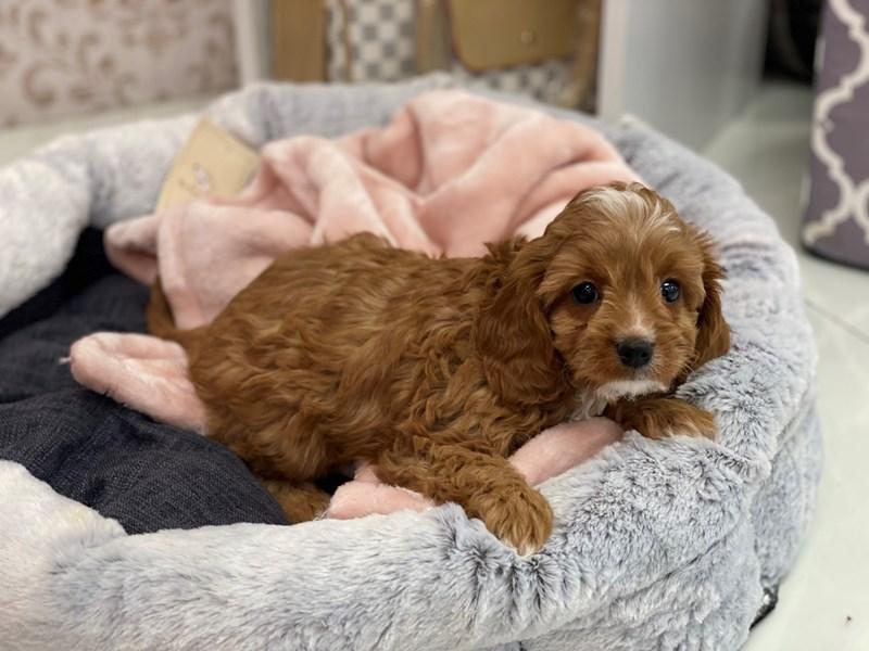Cavapoo-DOG-Female-Red-3024377-Furrylicious