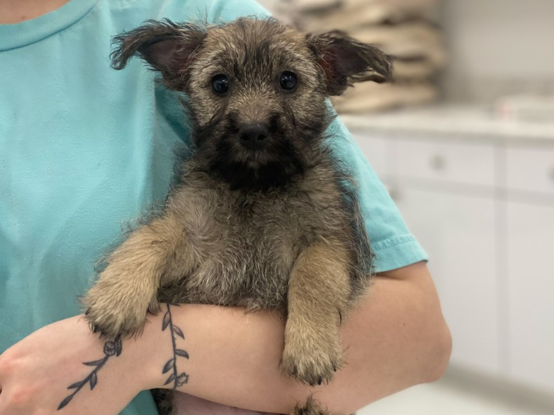 Cairn Terrier-DOG-Male-Wheaten Brindle-3026940-Furrylicious