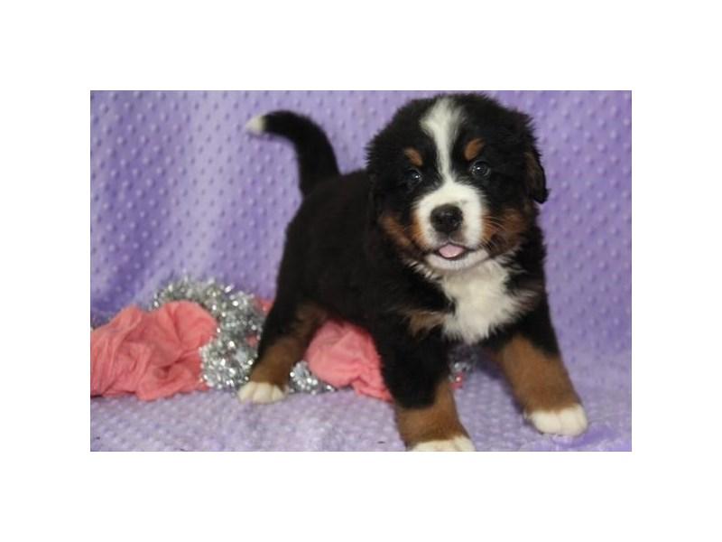 Bernese Mountain Dog-DOG-Male-Black, Rust, White-3028365-Furrylicious