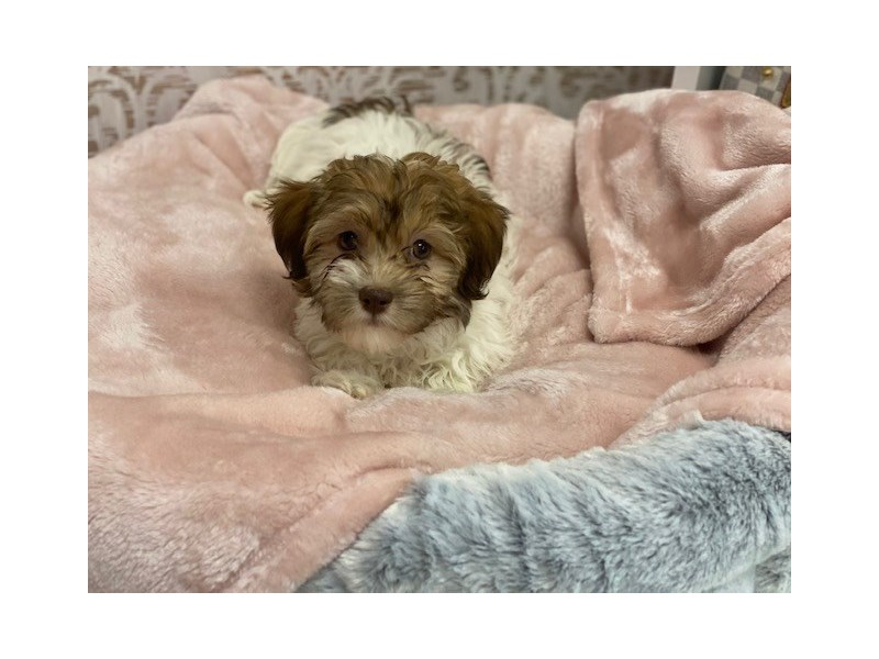 Havanese-DOG-Female-Gold / White-3024379-Furrylicious