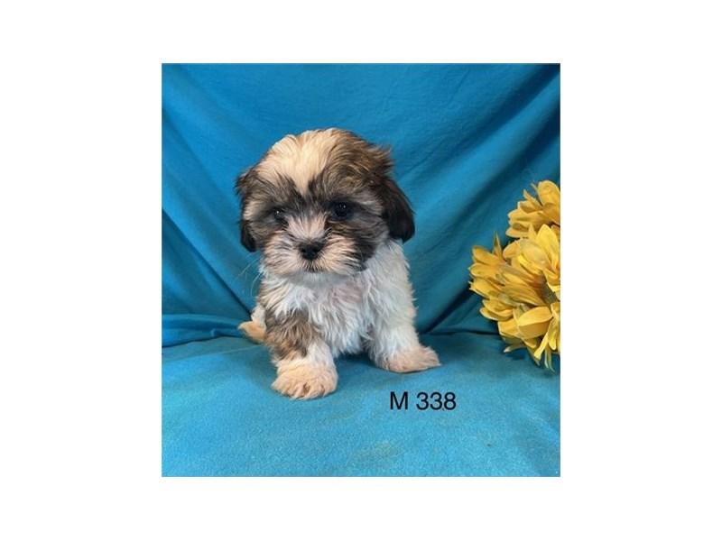 Shih Tzu-DOG-Male-Brown and White-3027758-Furrylicious