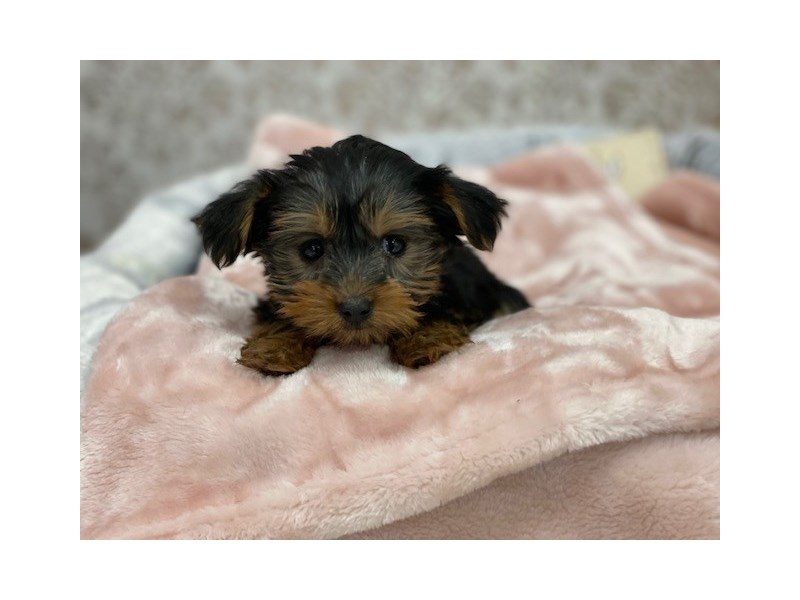Yorkshire Terrier-DOG-Female-Black / Tan-3024381-Furrylicious