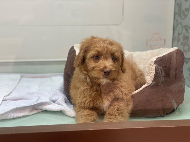 Cockapoo-DOG-Female-Red / White-3023285-Furrylicious