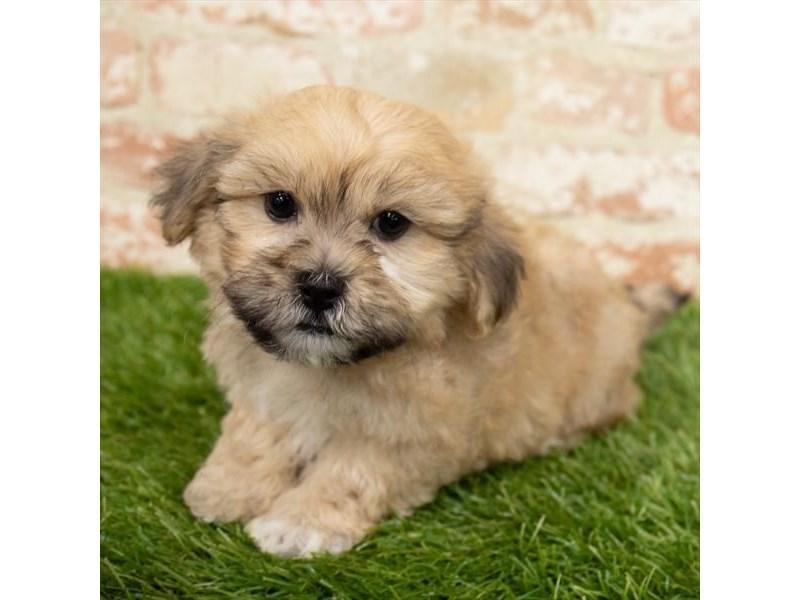 ShizaPoo-DOG-Male-Gold-3034232-Furrylicious