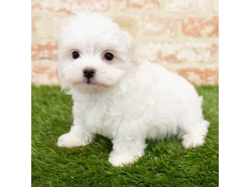 Maltese-DOG-Male-White-3034911-Furrylicious