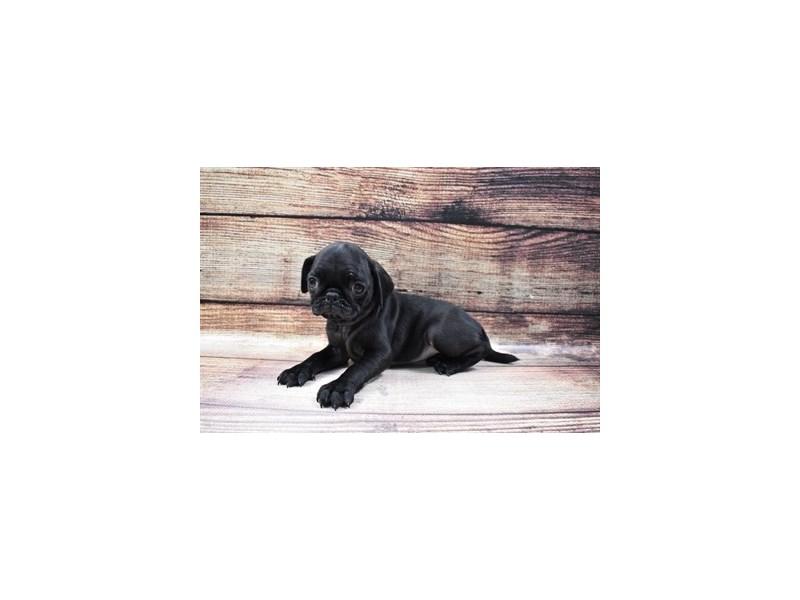 Pug-DOG-Female-Black-3036110-Furrylicious