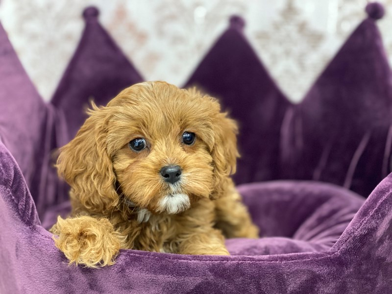 Cavapoo-DOG-Female-Red-3034227-Furrylicious