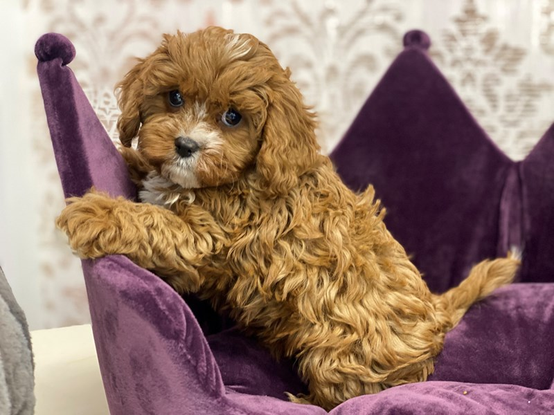 Cavapoo-DOG-Male-Red-3034228-Furrylicious