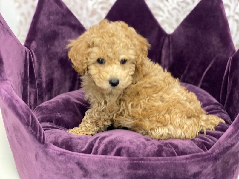 Poodle-DOG-Male-Apricot-3037189-Furrylicious