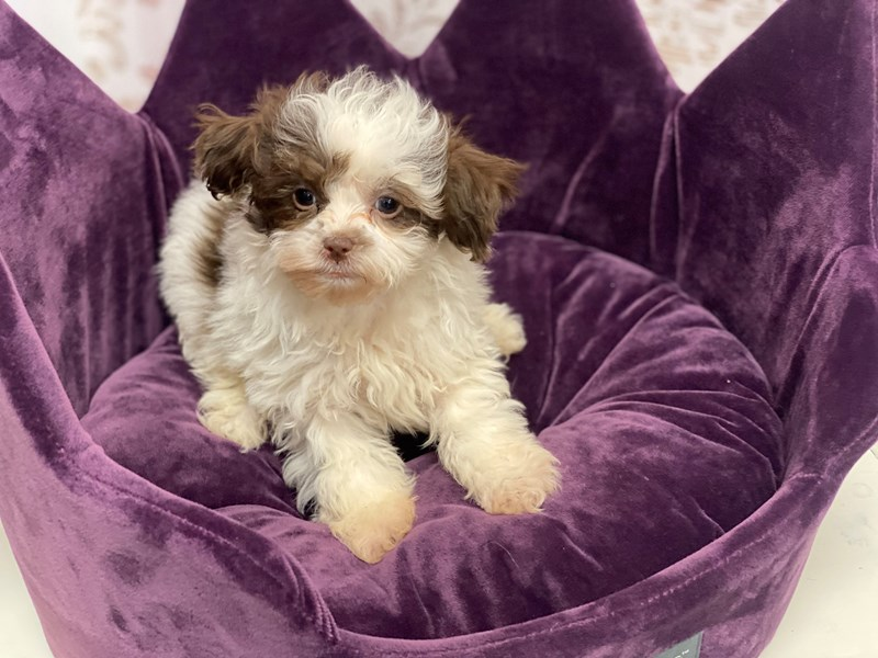 Shipoo-DOG-Female-Chocolate and White-3037156-Furrylicious