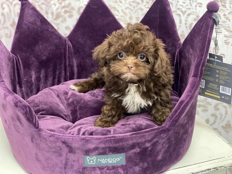 Shipoo-DOG-Female-Chocolate and White-3037162-Furrylicious