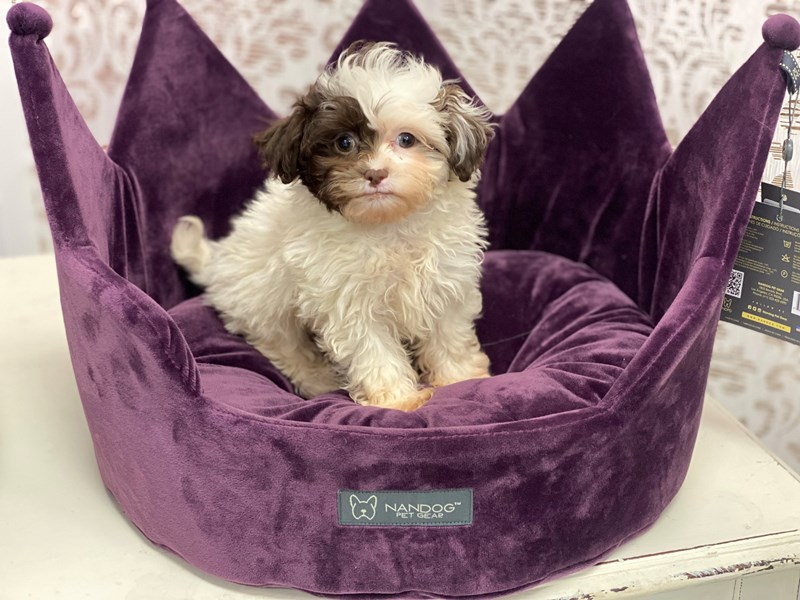 Shipoo-Male-Chocolate and White-3037164-Furrylicious
