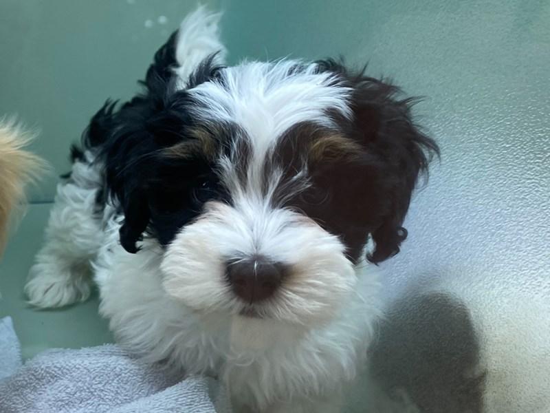 Havanese-DOG-Male-Black White / Tan-3034230-Furrylicious
