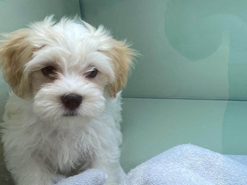 Havanese-DOG-Male-Cream / White-3034229-Furrylicious