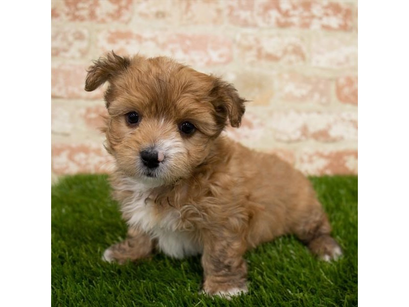 Morkie-DOG-Male-Red-3043428-Furrylicious