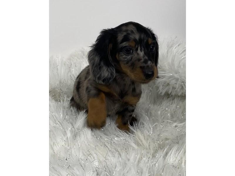 Dachshund-DOG-Male-Silver Dapple-3047614-Furrylicious