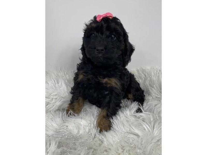 Cock A Poo-DOG-Female-Black / Tan-3047670-Furrylicious