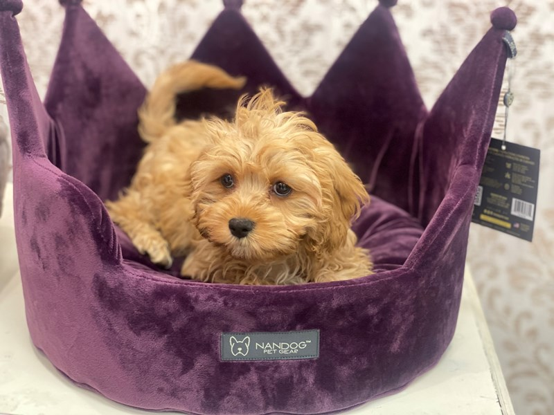 Cavapoo-Male-Apricot-3047384-Furrylicious