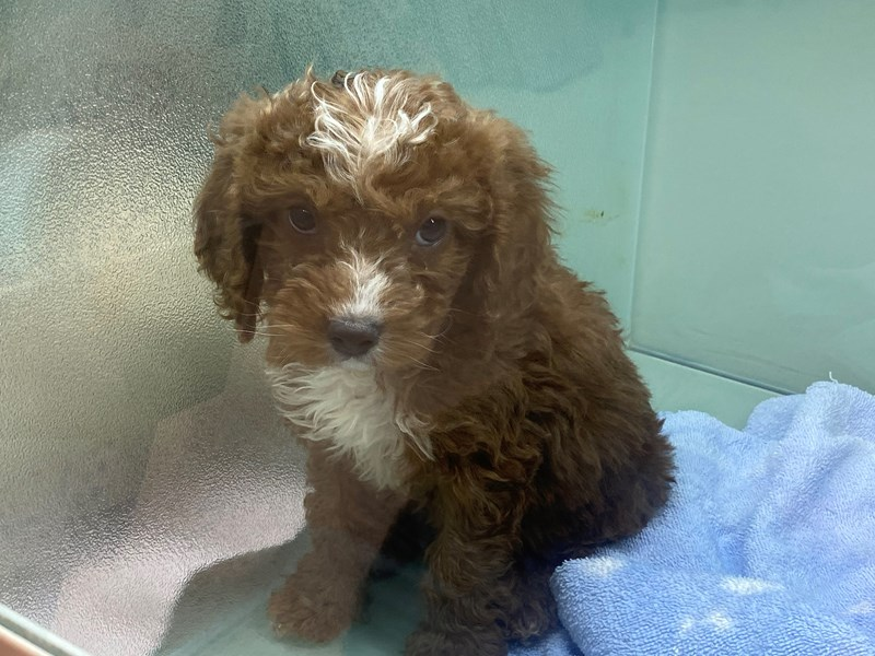 Cavapoo-DOG-Male-Red and White-3047547-Furrylicious