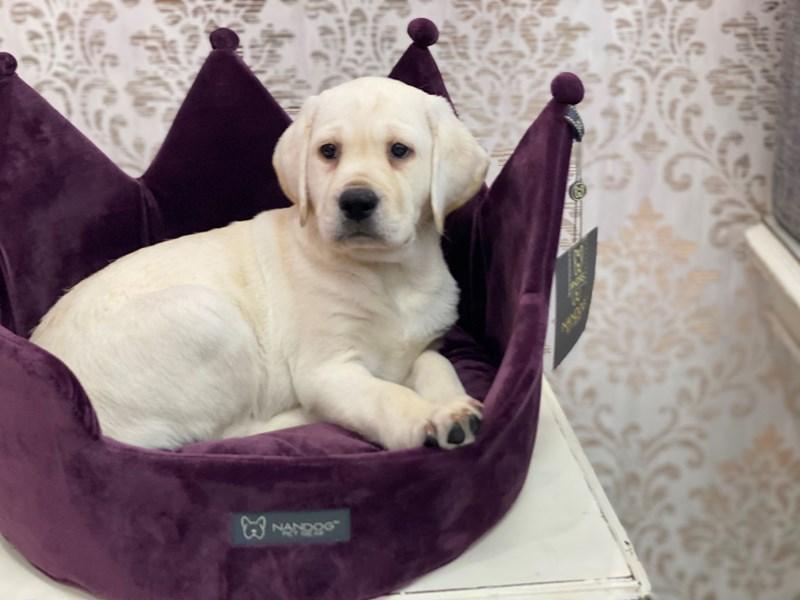 Labrador Retriever-Female-Yellow-3047606-Furrylicious