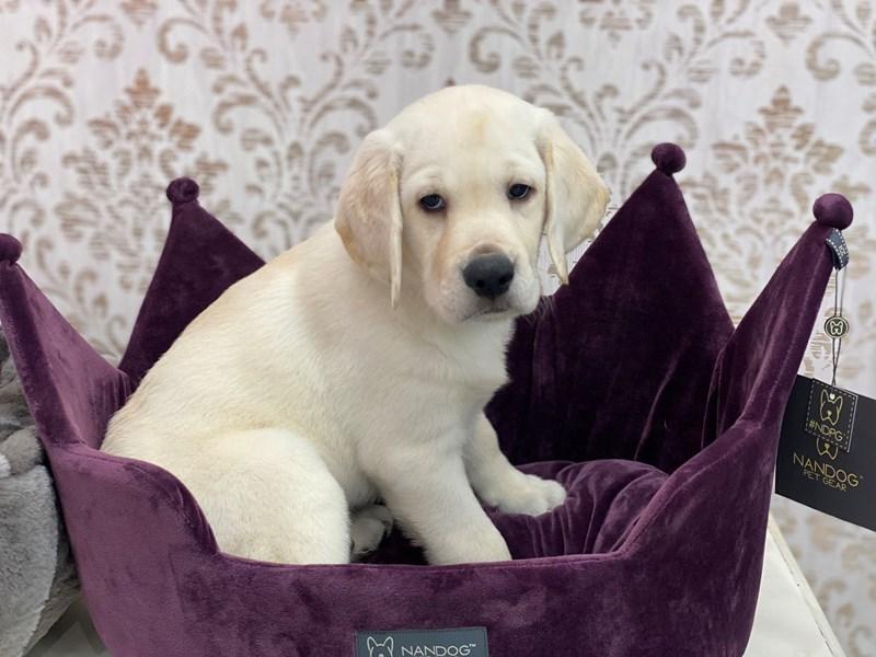 Labrador Retriever-Male-Yellow-3047607-Furrylicious