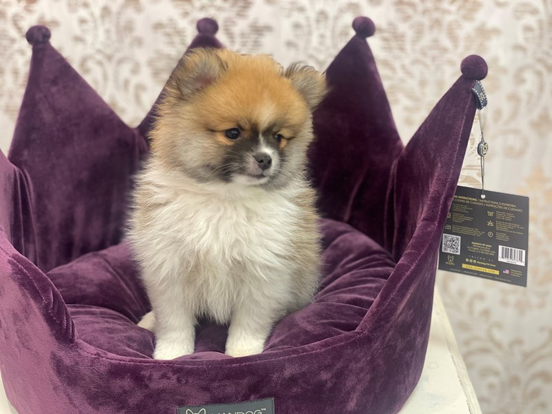Pomeranian-DOG-Male-Red / White-3044601-Furrylicious
