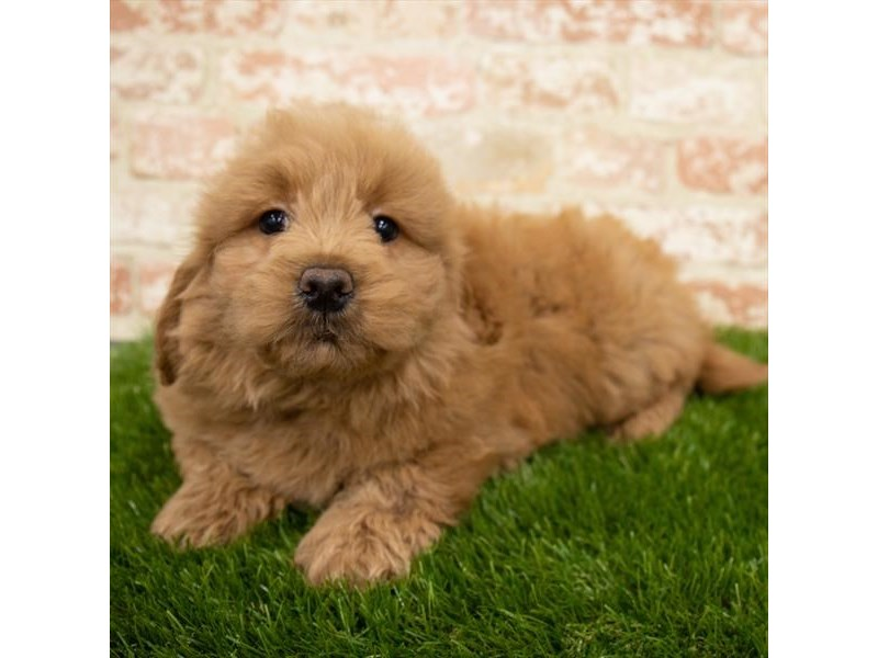 Goldendoodle Mini-DOG-Male-Red-3053688-Furrylicious