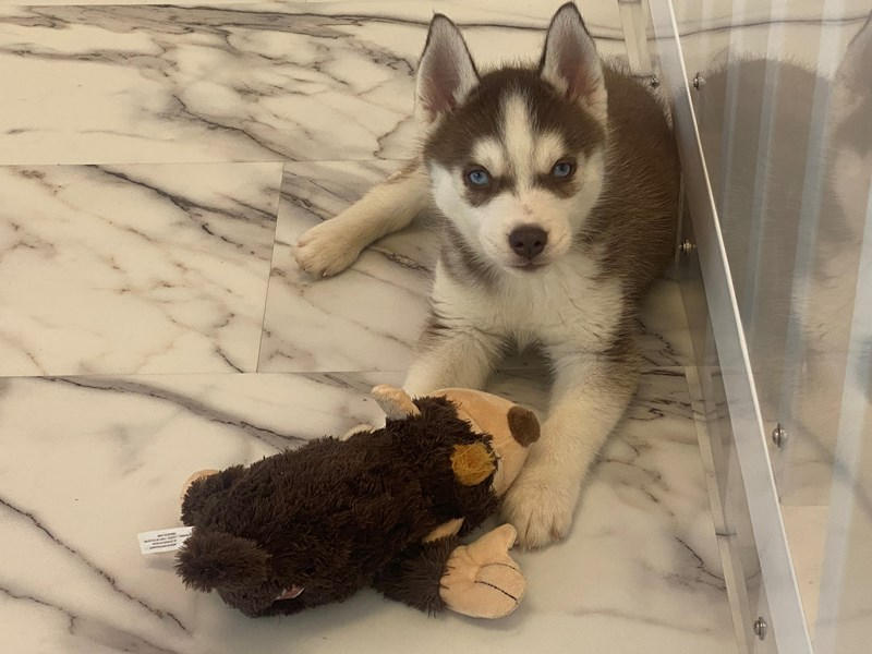 Siberian Husky-Male-Red and White-3047622-Furrylicious