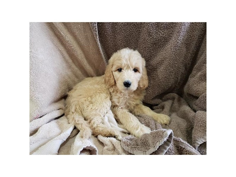 Goldendoodle 2nd Gen-DOG-Female-Golden-3055874-Furrylicious
