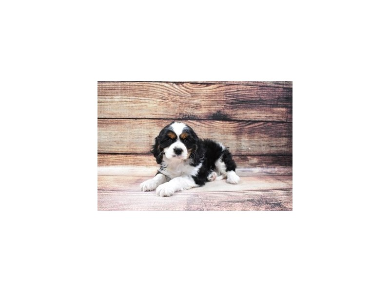 Cavalier King Charles Spaniel-Male-Black and White-3056687-Furrylicious