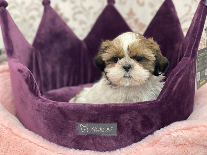 Shih Tzu-Male-Gold / White-3056011-Furrylicious