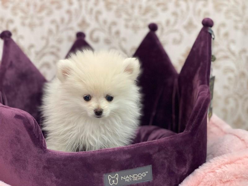 Pomeranian-Male-White-3058800-Furrylicious