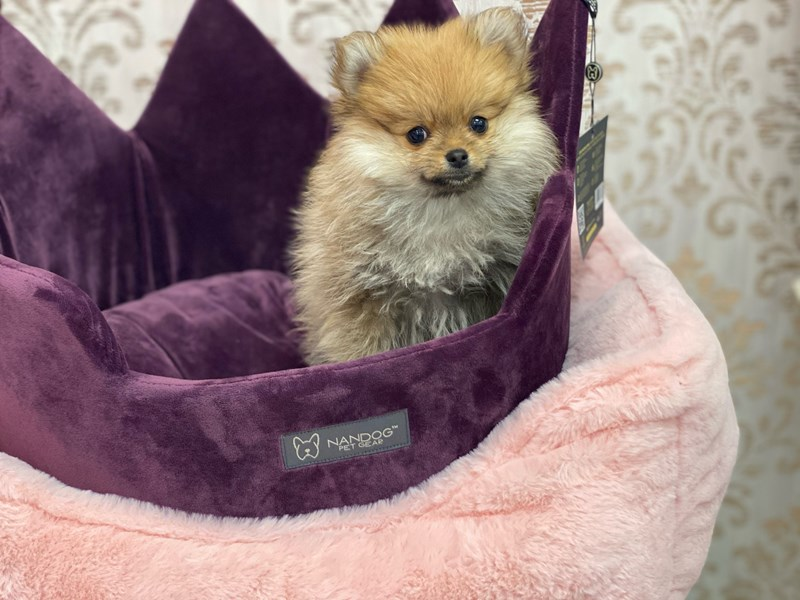 Pomeranian-DOG-Male-Red, white and Sable-3058792-Furrylicious