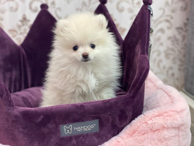 Pomeranian-Female-White-3058804-Furrylicious