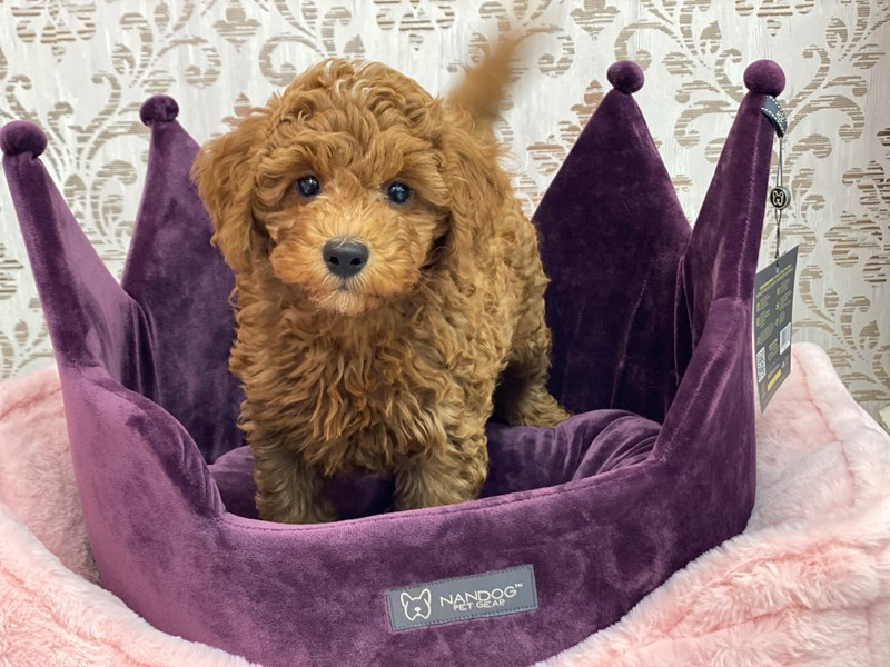 Miniature Labradoodle-Male-Red-3056034-Furrylicious