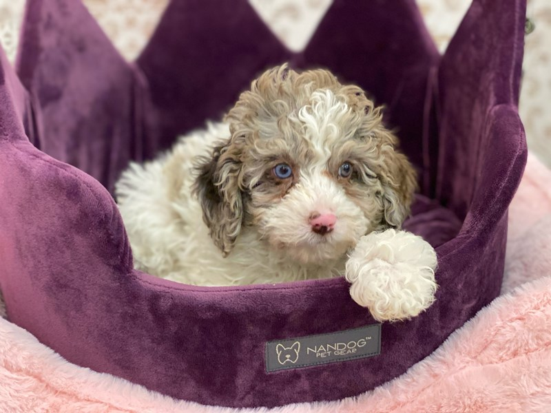 Mini Newfypoo-DOG-Male-Chocolate Merle-3056037-Furrylicious