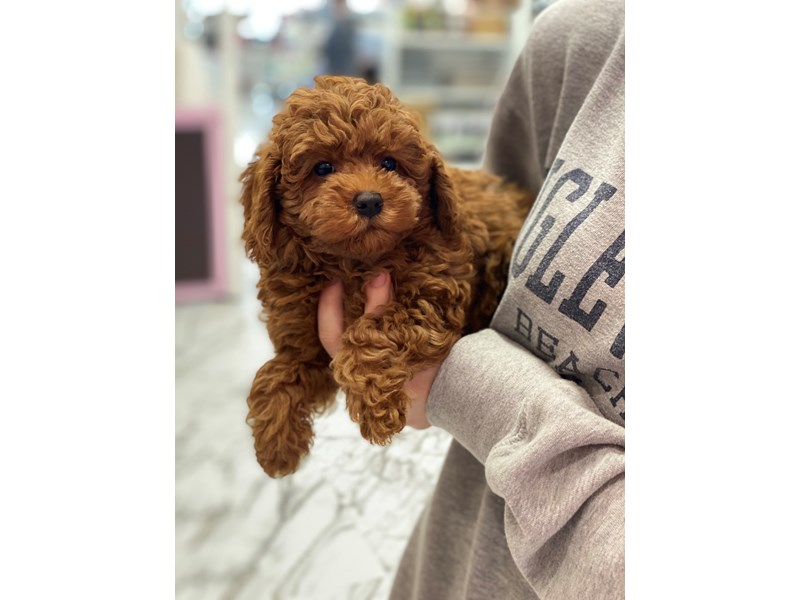 Miniature Labradoodle-Female-Red-3056029-Furrylicious