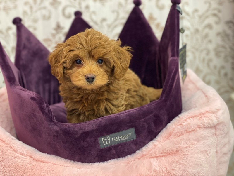 Miniature Labradoodle-DOG-Male-Red-3056032-Furrylicious