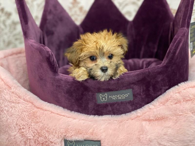 Morkie-DOG-Female-Tan/white and black-3058134-Furrylicious