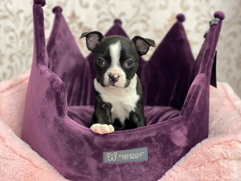 Boston Terrier-DOG-Female-Black and White-3067628-Furrylicious