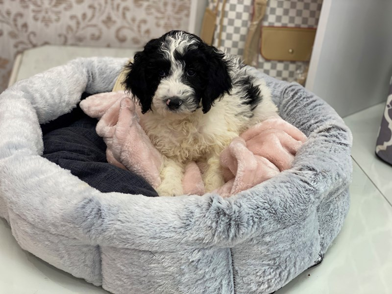 Mini Sheepadoodle-Male-Black / White-3024928-Furrylicious