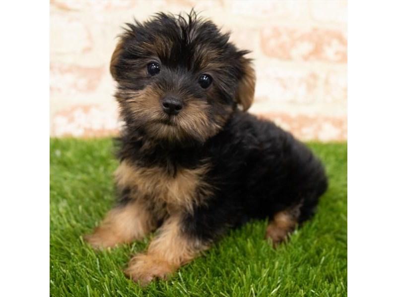 Yorkshire Terrier-Female-Black / Tan-3053690-Furrylicious