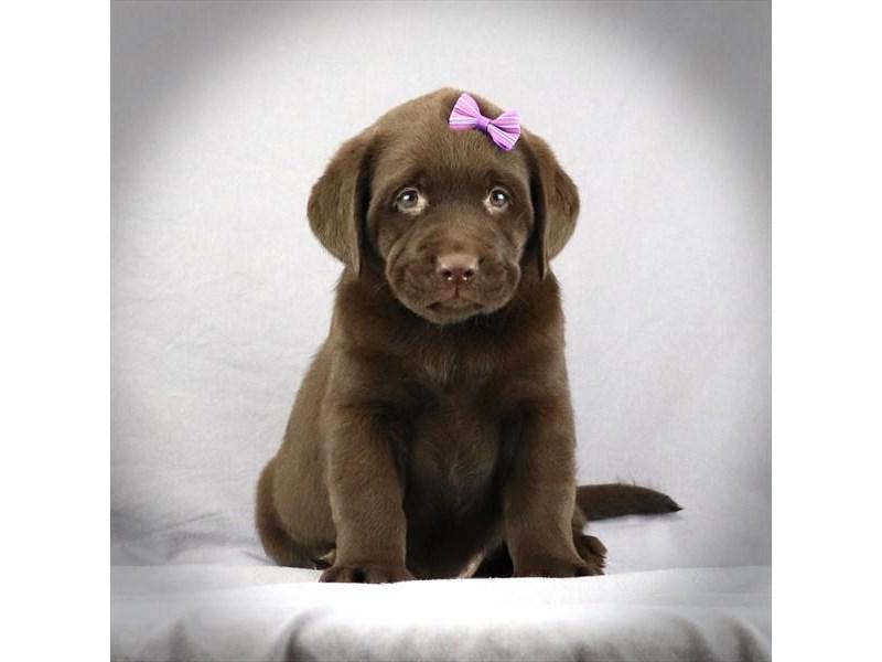 Labrador Retriever-Female-Chocolate-3052111-Furrylicious