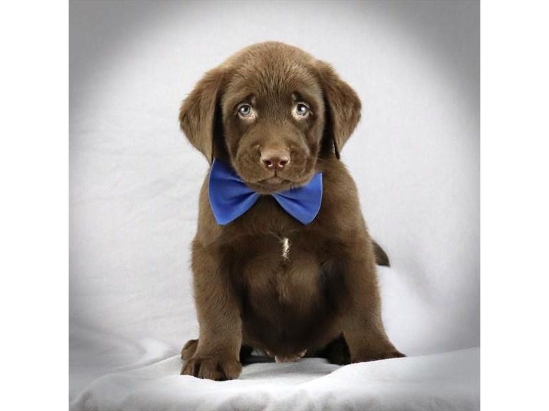 Labrador Retriever-Male-Chocolate-3052102-Furrylicious