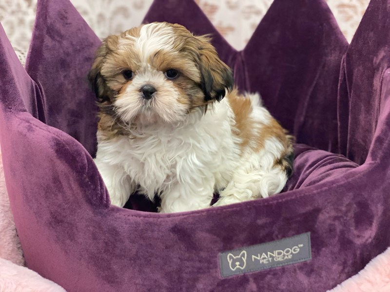 Shih Tzu-Male-Gold / White-3056012-Furrylicious
