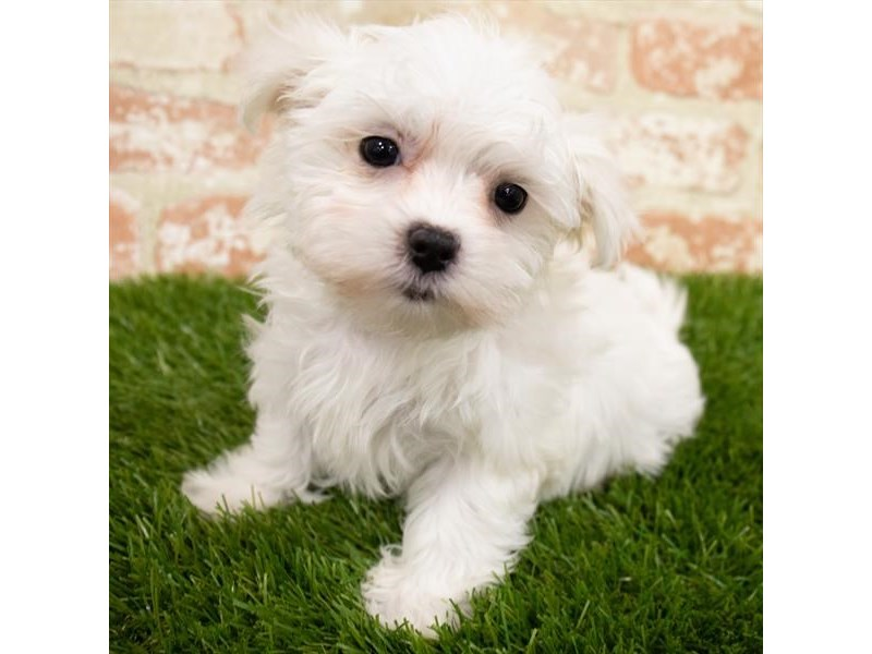 Maltese-Female-White-3067278-Furrylicious