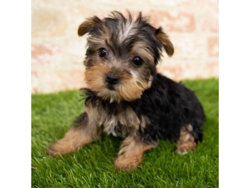 Yorkshire Terrier-Female-Black / Tan-3067369-Furrylicious