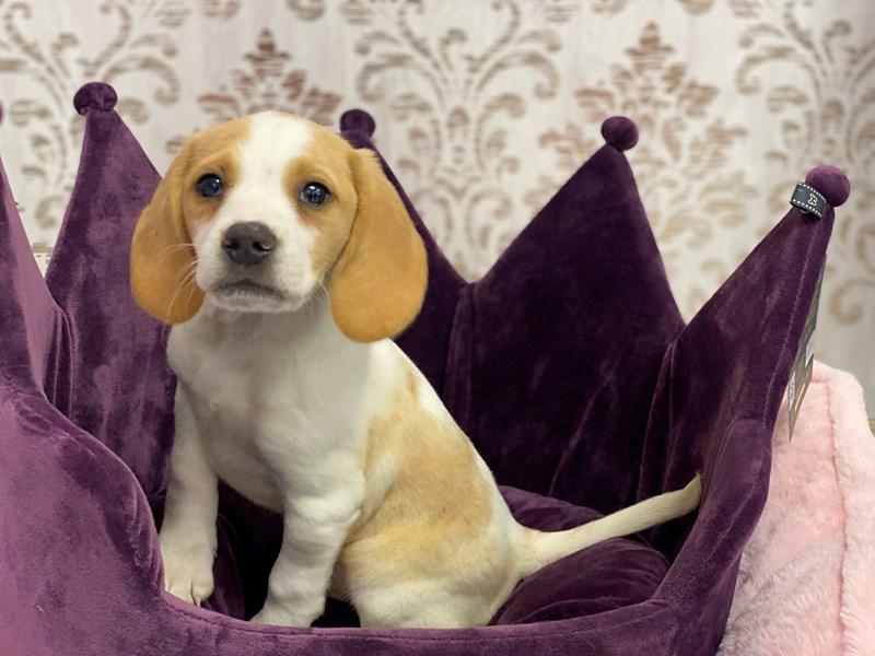 Beagle-Male-Lemon-3067587-Furrylicious